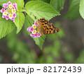 ランタナの蜜を吸うエルタテハ 82172439