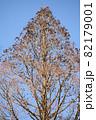 冬の青空の下のメタセコイア 82179001