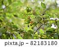 エノキ(榎)の果実 82183180