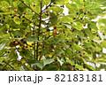 エノキ(榎)の果実 82183181