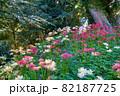 紅白の彼岸花の群生 里見公園 82187725