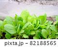 防虫網の中の小松菜 82188565