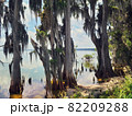 Florida wetland. Cypress trees in florida 82209288