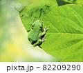 American Green Tree Frog on a leaf 82209290