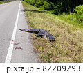 Dead alligator on country road 82209293