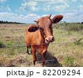 Brown Calf in a farm 82209294