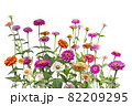 Colorful zinnia elegans flowers in the garden on white 82209295