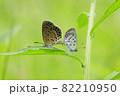 ヤマトシジミの交尾 82210950