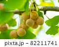 銀杏とイチョウの葉 82211741