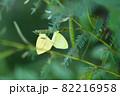 ツマグロキチョウの夏型と秋型の交尾 82216958