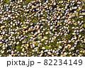 苔と玉砂利 82234149