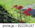 明日香村 満開の彼岸花 82236187