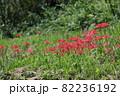 明日香村 満開の彼岸花 82236192