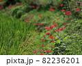 明日香村 満開の彼岸花 82236201