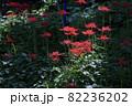 明日香村 満開の彼岸花 82236202