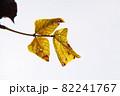 サンパウロ市内の公園の枯れ葉 ブラジル 82241767