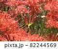 彼岸花の花に囲まれたつぼみの彼岸花 82244569