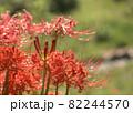 川のほとりに咲く彼岸花の群生 82244570