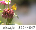 花の蜜を吸うモンキチョウ 82244647