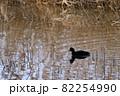 池を泳ぐオオバン 82254990