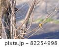 木の枝にとまるジョウビタキ 82254998