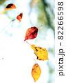 黄色から赤に色づいた桜の葉の落葉 82266598