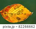 黄色から赤に色づいた桜の葉 82266662