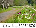 武田川のコスモス 木更津市 82281876