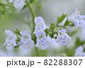 カラミンサ・ネペタ ホワイトクラウド 82288307