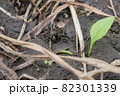 巣を作っているノミバッタ 82301339