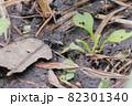 葉を食べているノミバッタ 82301340