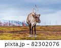 北欧の白いトナカイと雪景色 82302076