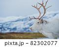 北欧の白いトナカイと雪景色 82302077