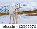 北欧の白いトナカイと雪景色 82302078