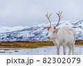 北欧の白いトナカイと雪景色 82302079