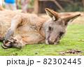 オーストラリアの眠そうなカンガルー 82302445
