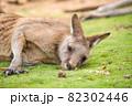 オーストラリアの眠そうなカンガルー 82302446