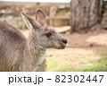 オーストラリアの眠そうなカンガルー 82302447