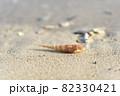 奄美大島の海岸に漂着するベニタケガイの貝殻 82330421