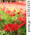 彼岸花のグラデーションに見える群生地 82361929