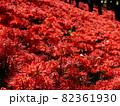 彼岸花の絨毯 82361930