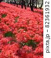 彼岸花の絨毯 82361932