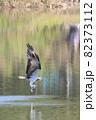 水辺の王者、ミサゴ 82373112