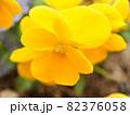 黄色いパンジーのマクロ写真 82376058