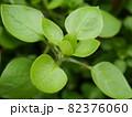 コハコベの若い芽 82376060