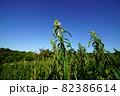 夏の青空をバックに金ごまの花が咲く 82386614