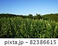 金ごま畑に咲くゴマの花 82386615