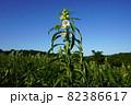 こまの花とゴマの鞘(さや) 82386617