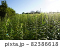 金胡麻畑に咲くゴマの花 82386618