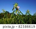 金ごま畑に咲くゴマの花 82386619